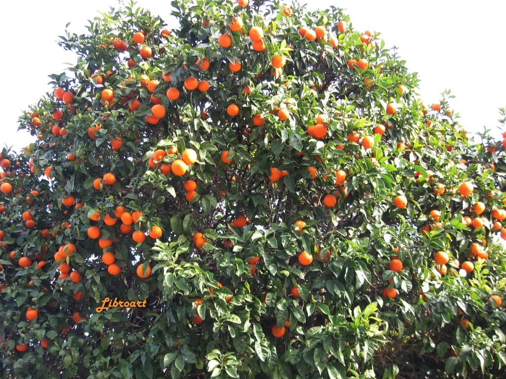 Athens - Bitter Orange Trees